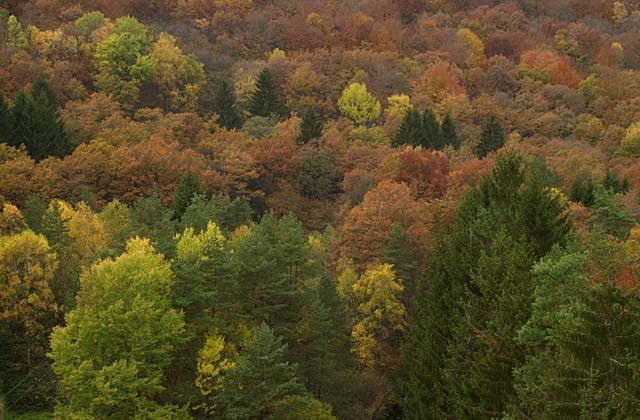 Forêt mixte de feuillus et de conifères. (morvan)